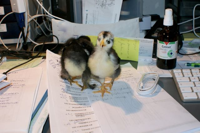 Two baby chicks standing on a desk.