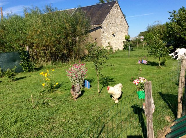 Chickens walking in the grass