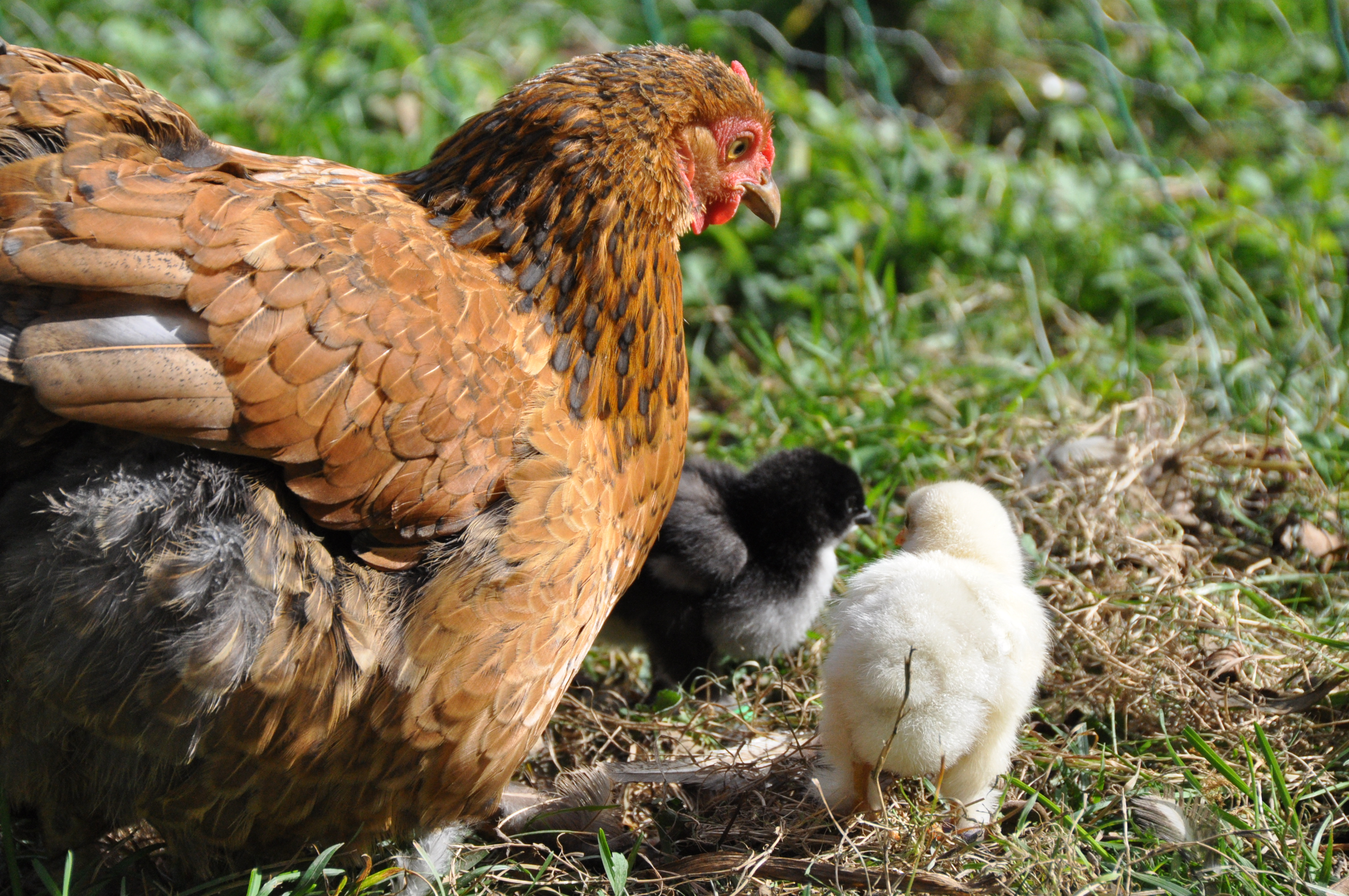 Baby chicks and mother
